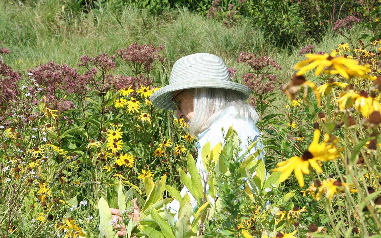 woman wearing hat looks for monarch larvae on plant leaves