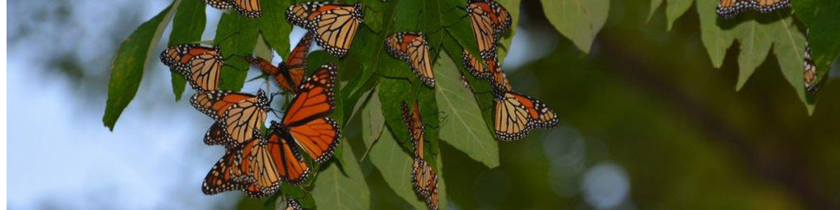 monarch butterflies roost on leaves and tree branch