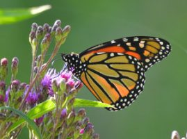 monarch butterfly on purple plant