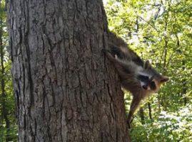 Image of a raccoon climbing down tree